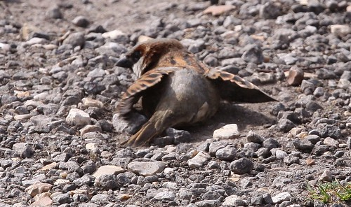 Sparrow Dust Bath