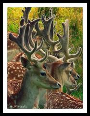 Deer (JKmedia) Tags: park uk nature animal countryside nt wildlife group velvet deer antlers spots national trust hoof nationaltrust fallow dyrham cloven 15challengeswinner