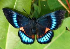 azules / blues (jjrestrepoa (busy)) Tags: blue azul butterfly colombia lepidoptera mariposa antioquia envigado parqueelsalado