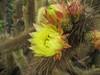Velvet cactus booms, a rare site i…