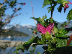 First salmonberry blossom