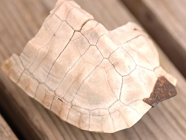 カメの甲羅