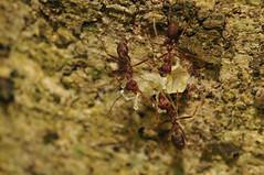 KEN_8389 (gingerbreadtot) Tags: macro insect nikon 75300 6t redant hymenoptera alexanderbutterflytrail
