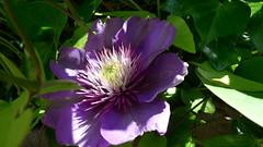 012-otracosa (dadoobe) Tags: flowers blue macro purple clematis clemetite