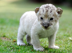 Baby lion (floridapfe) Tags: baby cute zoo cub nikon lion korea babylion everland d80 platinumheartaward vosplusbellesphotos 2voc