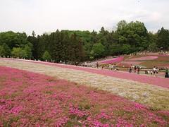 芝桜の丘(41)