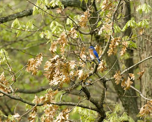 BluebirdSpringdale05052009JGWardIMG_0618
