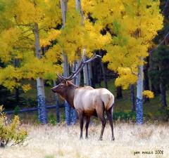 Elk Beneath The Aspen (pam's pics-) Tags: park autumn fall nature animal nationalpark nikon colorado aspens rmnp elk rockymountainnationalpark rutting d40 bugling pammorris nikond40 denverpam