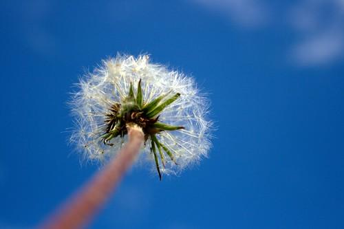 365.130 - Photowalk 19: Dandelion Sky