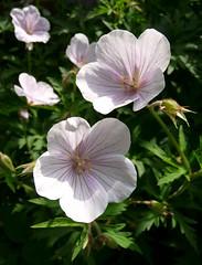 Geranium clarkei 'Kashmir White' (Sigrid de Vries - Frensen) Tags: pink white plant flower garden spring soft geranium hardy pastell geraniumclarkeikashmirwhite