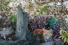 micio bretone (...Serendipity) Tags: pet france animals cat kitten bretagne francia gatto gatti animali micio mici bretagna gattini