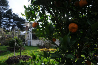 The mandarine tree