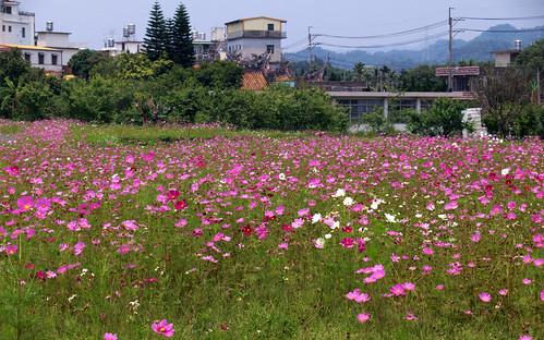 Flower Sea 花海