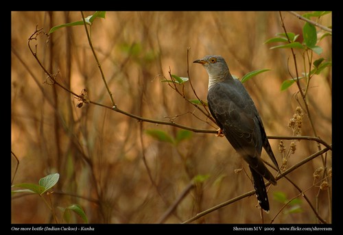 One more bottle - Indian Cuckoo