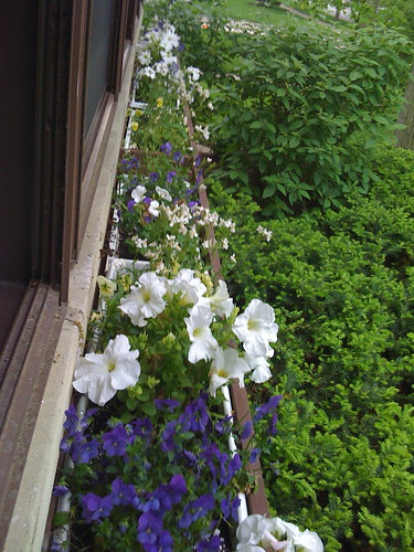 Window boxes--pansies, petunias, and that white fluffy stuff