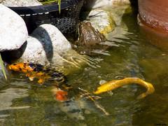 Carpe imitant la grenouille (Le No) Tags: 31 hautegaronne midipyrnes stlon grenouillerieuse lauragais pelophylaxridibundus senourrir collectionnerlevivantautrement