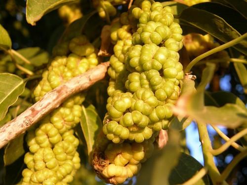 frutos del ombu 1