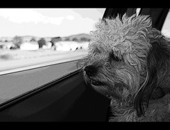 Car Ride (Michael | Ruiz) Tags: road trip arizona bw dog white black car photoshop canon poster rebel mix raw ride bob elements poodle daytime xs lhasa edges i17