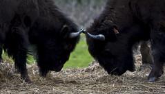 Meeting of Minds (Stephen P. Johnson) Tags: wood alaska buffalo wildlife conservation center portage bison 200906140163