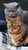 Space invader (bigbluewolf) Tags: blue cats cat nikon shorthair british bengal d40 catmoments