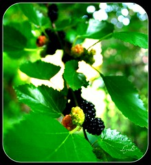 Mulberries in the Garden, tons. (Lynn English) Tags: garden squirrel mulberry abigfave