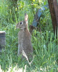 ...dans la rosée ! (Le pot-ager) Tags: animaux lapin mammifère oryctolaguscuniculus