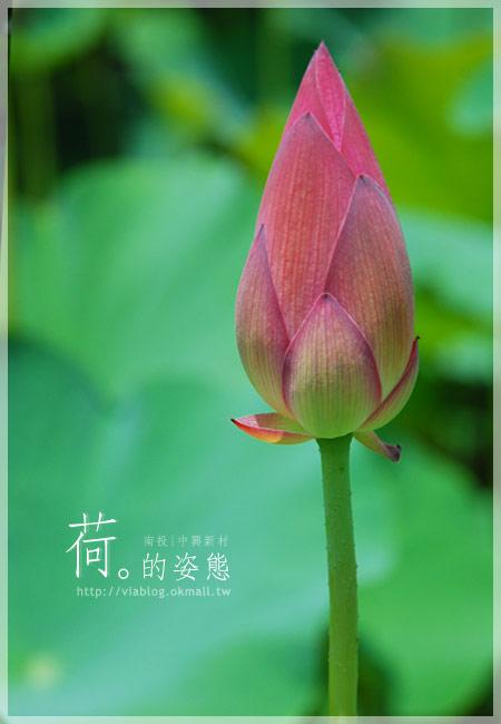 【2010賞荷】南投中興新村~荷花(蓮花)池準備盛放!6
