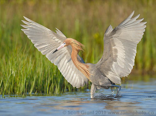 Reddish Egret Dance, Fort DeSoto by Scott Grant