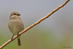 Red-backed shrike (Volkan Donbalolu) Tags: russia volkan  novorossiysk redbackedshrike laniuscollurio   krasnodarkrai   donbaloglu donbalolu kzlsrtlrmcekkuu