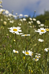 Ox-Eye Daisies (l4ts) Tags: derbyshire grasses wildflowers clover chesterfield buttercups oxeyedaisies linacrereservoirs
