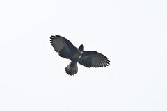 Black Baza (Mike Prince) Tags: india birds flying flight kerala aves raptors birdsofprey accipitridae thattekad blackbaza avicedaleuphotes kiteshawksandeagles
