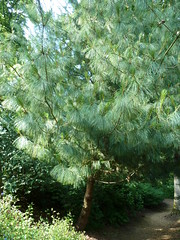 """Pinus Griffithii """"Butan Pine"""" • <a style=""""font-size:0.8em;"""" href=""""http://www.flickr.com/photos/61957374@N08/5849747277/"""" target=""""_blank"""">View on Flickr</a>"""