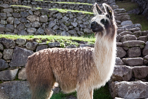 A Llama at Machu Picchu
