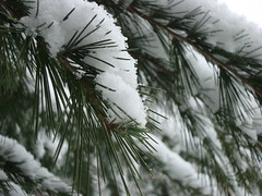 On en mangerait !  suivreWould like to eat some ! More to follow... (1) (Michele*mp) Tags: winter snow france tree pinetree grenoble europe pin arbre isre dauphin diamondclassphotographer flickrdiamond freenature michelemp