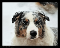 Cezanne in snow (Micha67) Tags: winter boy dog pet snow storm male animal puppy michael nikon shepherd australian january micha 612months pup companion 2009 cezanne schaefer d300