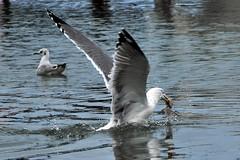 il cacciatore e la sua preda (luporosso) Tags: sea naturaleza bird nature birds mare seagull natura uccelli gabbiano birdwatcher naturalmente naturaincontaminata aplusphoto naturewatcher