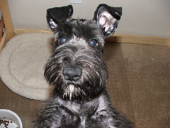 Dobby's First Schnauzer Haircut