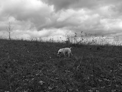 (michaelrosetalkstobirds) Tags: dog terrier jackrussell rurallandscape