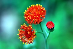 Three different stage of a flower (Emilia javanica, Tassel Flower ) (natureloving) Tags: red orange flower macro green nature yellow nikon colours dof searchthebest afsvrmicronikkor105mmf28gifed d40x natureloving flowersinfrance fleursenfrance