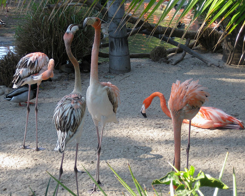 More Flamingos...