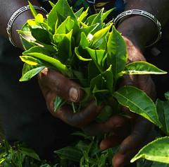 Tea in Hands (JING Tea) Tags: tea srilanka ceylon teapicking teapickers ceylontea