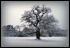 Frosty February / The Old Snowy Oak