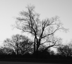 Tree at Sunrise in B&W