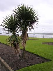 Two Tree or Not Two Tree? (W F B) Tags: ocean uk sea tree grass grey scotland clyde boat nikon 15 escocia palm february 2009 dull schottland ayrshire largs ecosse scozia 苏格兰 шотландия