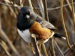 Towhee In All His Glowhee (ebirdman) Tags: male spotted towhee spottedtowhee pipilomaculatus pipilo maculatus