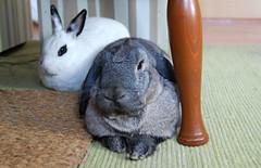 H&Y chillin under the table (Justin Snow) Tags: pet cute rabbit bunny bunnies animal carpet rug rabbits hodge dewlap yoshimi