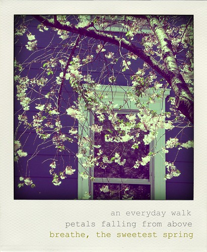 cherry blossoms haiku