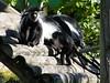 dhh bl (dmathew1) Tags: tampa florida lowryparkzoo babywhitetiger babymandrill babyorangatun babycolobusmonkey babyguenon