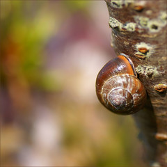 they are back again......... (atsjebosma) Tags: macro tree nature spring bokeh nederland thenetherlands snail explore groningen lente kleurrijk slak eatingplants april2009 lekkersmullen atsjebosma backinourgarden zehorenerbij teruginonzetuin