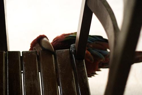 11-parrot